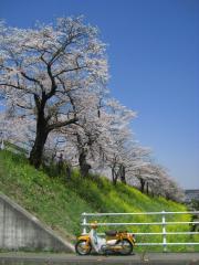 2009sakura-cub2.jpg