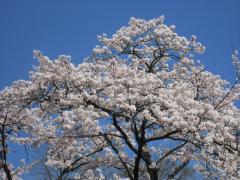 2009sakura-w3.jpg