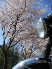 2009sakura-w4.jpg