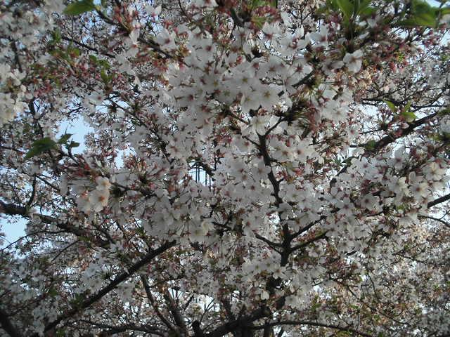 もう葉桜になっちゃっていますが・・・