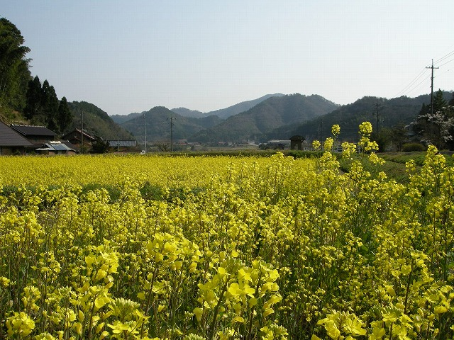 弥富の菜の花0904