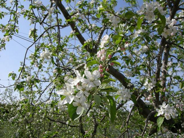 リンゴの花が満開090420