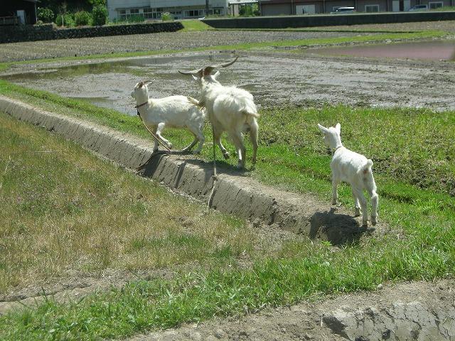山羊保育園090508い