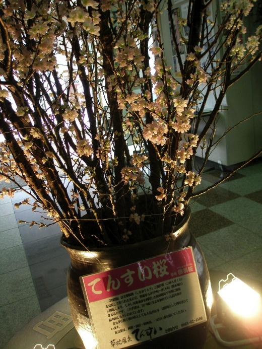 20110205sakura.jpg