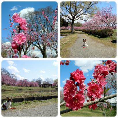 「桃まつり」は中止でも花桃は咲いてるもんね!4