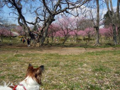 「桃まつり」は中止でも花桃は咲いてるもんね!2