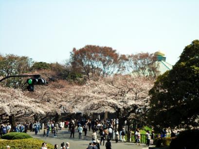 満開の桜と入学式4
