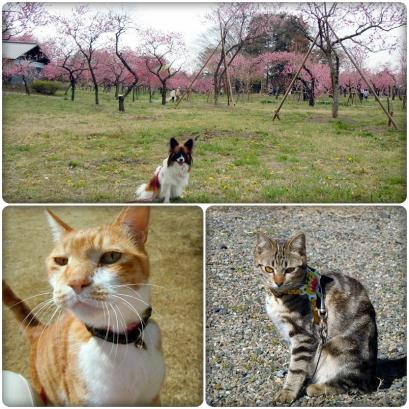 満開の桜と入学式7