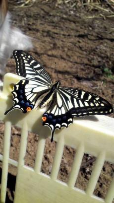 Papillon & Papillon1