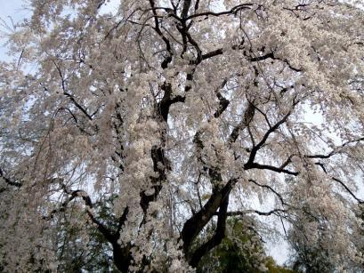 板倉町天然記念物のシダレザクラ♪4