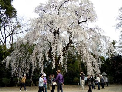 板倉町天然記念物のシダレザクラ♪3
