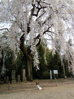 板倉町天然記念物のシダレザクラ♪6