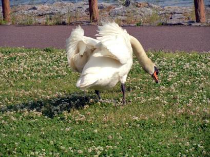 陸に上った白鳥さんは(゚Д゚;∬アワワ・・・5