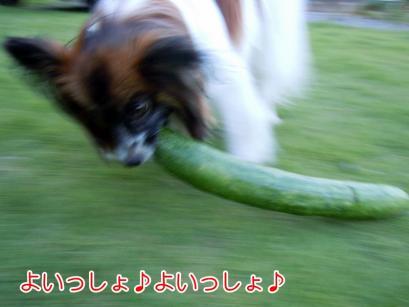 ジャンボきゅうりにチャレンジ~2
