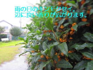 IMG_0683キンモクセイ