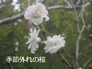 IMG_0872桜