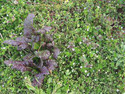 畑-高菜の雑草2