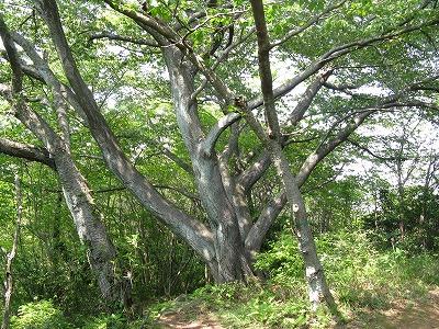 ヤマザクラの古木