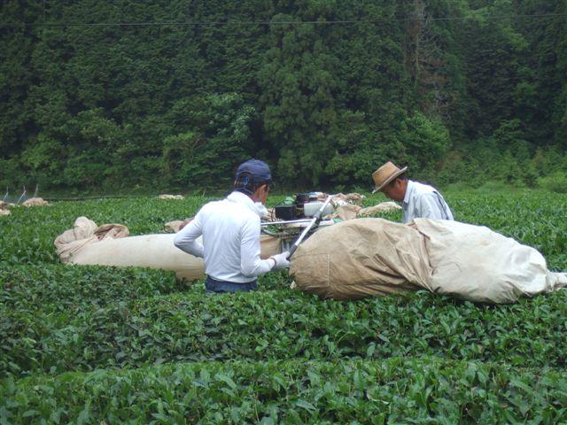 お茶刈090523