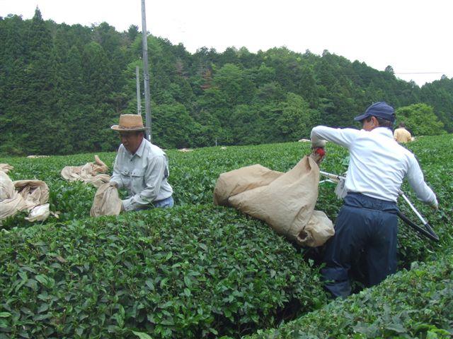 お茶刈090523.