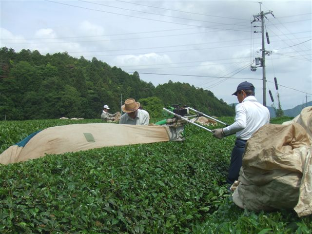 お茶刈090523.....