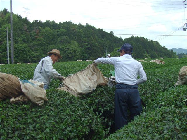 お茶刈090523...