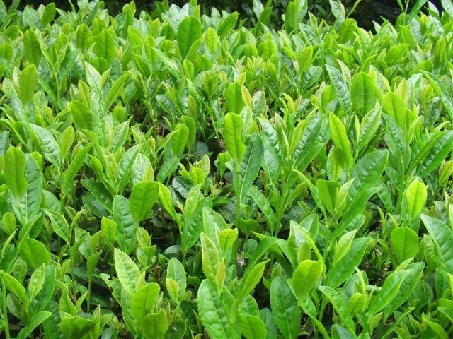 2番茶の芽