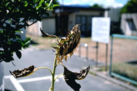 枯れ向日葵