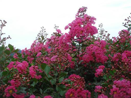 沿道のピンクの花