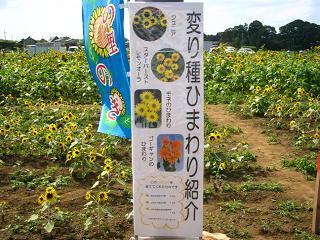 himawari-nogi204