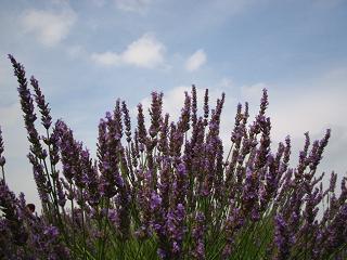 lavender090704-203