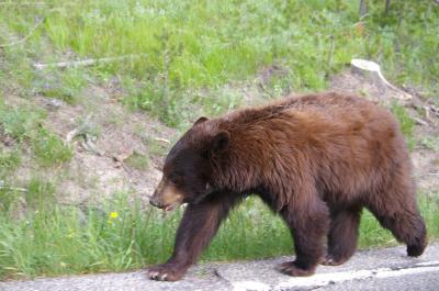 Bear in YNP
