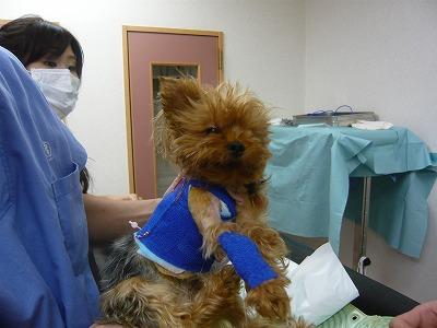 クッキー2度目の手術直後