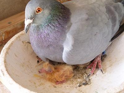 鳩のヒナ2