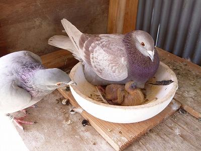 鳩のヒナ2-1