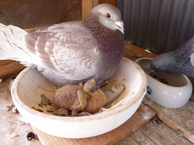 鳩のヒナ2-3