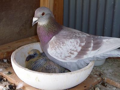 鳩のヒナ4-3