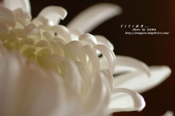 菊DSC_00540001