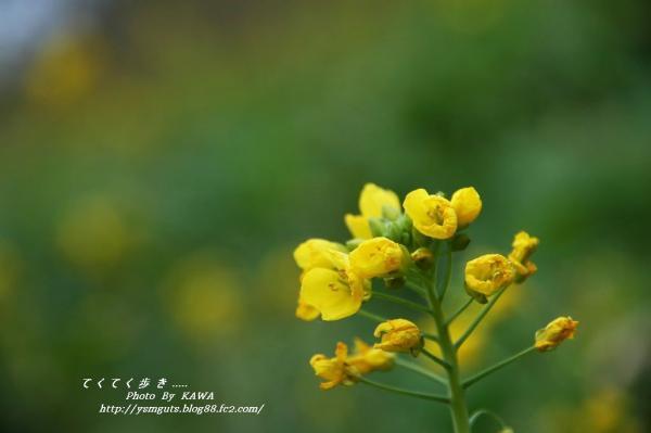 1菜の花13790001