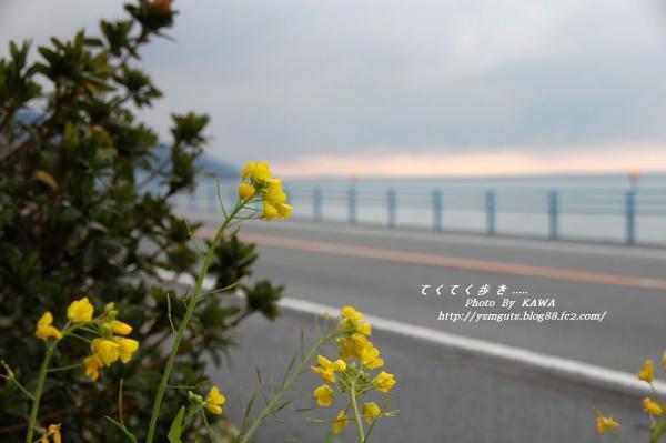 4菜の花_13670001