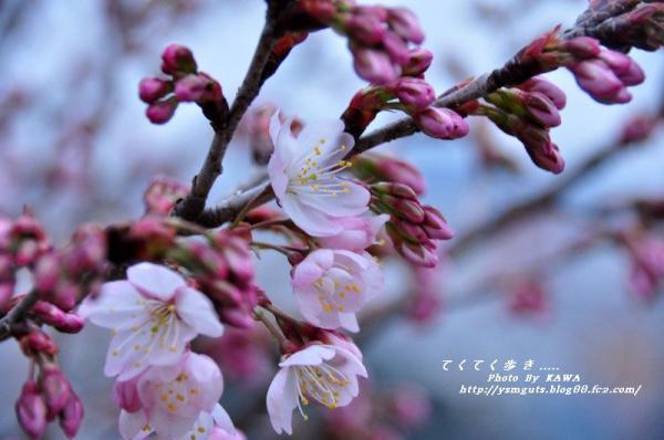 1十六日桜_1114_093