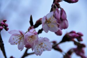 2十六日桜_1112_091