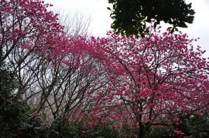 1寒緋桜_1580_248