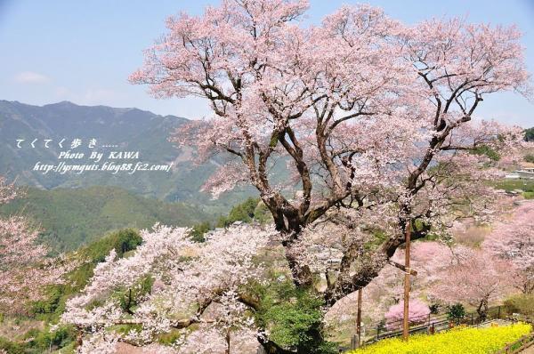 3ひょうたん桜_2699