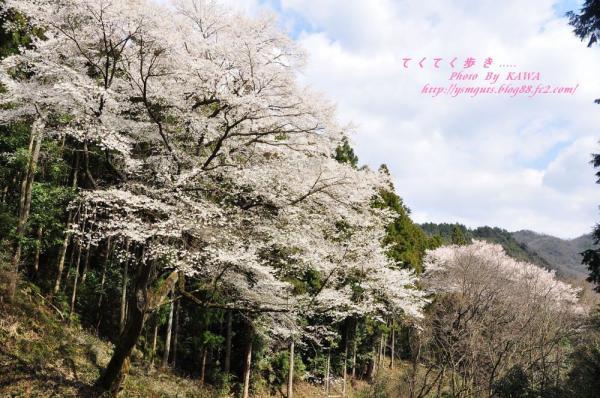 1源太桜_3906
