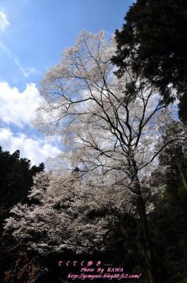7源太桜_3895