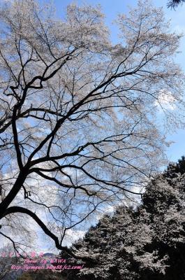 8源太桜_3902