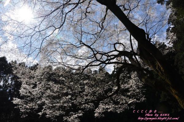 10源太桜_3899