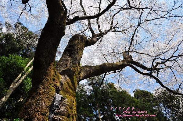 11源太桜_3900