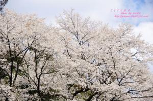 12源太桜_3908